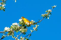 Spring bird on a twig. Nice pleasure spring view. royalty free stock image