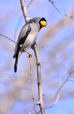 Spring birds Royalty Free Stock Photo