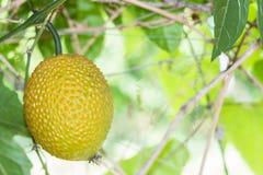 Spring Bitter Cucmber or Gac fruit Stock Image