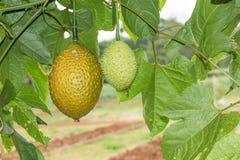 Spring Bitter Cucmber or Gac fruit Stock Photos