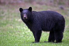 Spring Black Bear. Black Bear standing in meadow, portrait Royalty Free Stock Images