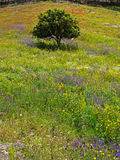 Spring bliss. Single orange tree surround by a field full of flowers on a hill Stock Photos