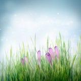Spring bloemenachtergrond met krokusbloemen op stock foto
