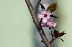 Spring bloesem op tak op Stock Foto's
