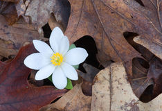 Spring Bloodroot. Photograph of a beautiful spring bloodroot flower emerging from the dead leaves of the forest floor stock photos