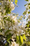 Spring bloom Royalty Free Stock Images