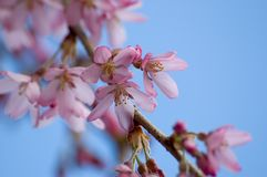 Spring bloom. Blooming pink tree Stock Photography