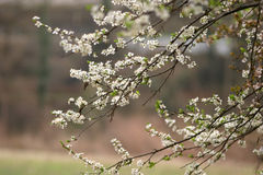 Spring in bloom. Some branches in white flowers Stock Photos