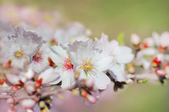 Spring bloom of almond tree Stock Photos