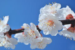Spring bloom of apricot tree. Flowers of apricot derera. Beginning of spring stock photo