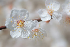 Spring bloom of apricot tree. Flowers of apricot derera. Beginning of spring royalty free stock images