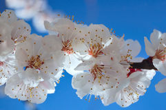 Spring bloom of apricot tree. Flowers of apricot derera. Beginning of spring stock images