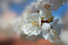 Spring bloom of apricot tree. Flowers of apricot derera. Beginning of spring royalty free stock image