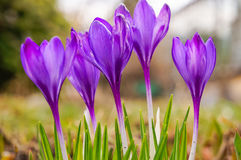 The spring bloom of beautiful flowers Crocuses Stock Photos