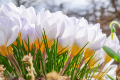 The spring bloom of beautiful flowers Crocuses Stock Images