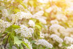 Spring bloom, blossom in sunlight, blurred abstract bokeh backgroud. With copyspace royalty free stock photos