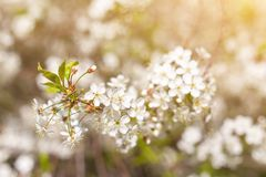 Spring bloom, blossom in sunlight close-up, blurred abstract nature bokeh backgroud. Spring bloom, blossom in sunlight cherry tree branch flowers close-up stock photo
