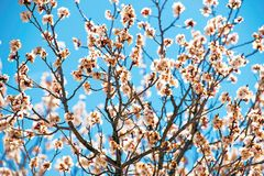 Spring Bloom Branches Royalty Free Stock Photo