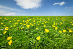 Spring Bloom Dandelion Stock Photography