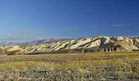 Spring bloom in Death Valley Stock Images