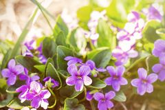 Spring bloom the first flowers small purple flowers stock photography