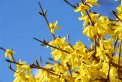 Spring bloom forsythia Royalty Free Stock Photography