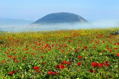 Spring bloom of poppies in Galilee in the area of Mount Tabor, Israel. Spring blooming of poppies in Galilee near the Nazareth, against the background biblical royalty free stock photos