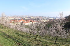 Spring Bloom in Prague. Light pink spring blossoms in Prague's park Stock Photo