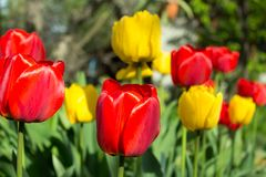 Spring bloom of tulips. Red and yellow tulips. royalty free stock images