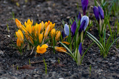 Spring bloom white, purple and yellow crocus flowers Royalty Free Stock Photography