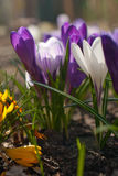 Spring bloom white, purple and yellow crocus flowers Royalty Free Stock Images