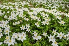 Spring bloom of the wood anemones closeup photo Stock Photos