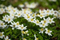 Spring bloom of the wood anemones closeup photo Royalty Free Stock Photo