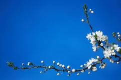 Spring blooming. Blooming branch of apple tree on blue sky background Stock Photography