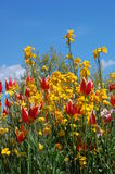Spring blooming. Red and yellow flowers on a sunny day Royalty Free Stock Photography