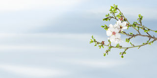 Spring blooming almond tree against blue sky Stock Images