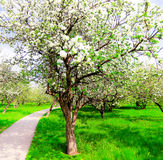 Spring blooming apple tree Stock Photography
