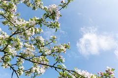 Spring Blooming Apple Tree on a Blue Sky Background Stock Images