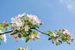 Spring Blooming Apple Tree on a Blue Sky Background Stock Photos