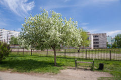 Spring. Blooming apple tree in the city. Bench. Empty bench at an apple tree in blossom Royalty Free Stock Images
