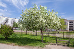 Spring. Blooming apple tree in the city. Bench. Empty bench at an apple tree in blossom Stock Images