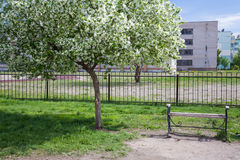 Spring. Blooming apple tree in the city. Bench. Empty bench at an apple tree in blossom Royalty Free Stock Photography