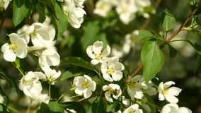 Spring blooming apple tree close to. Spring blooming apple tree, white flowers sway from the wind close to stock footage
