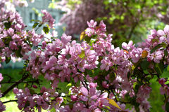 Spring blooming apple tree in town yard. Pink flowers Royalty Free Stock Images