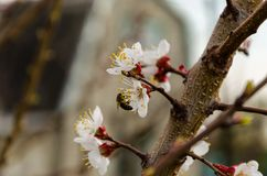 Honey bee on apricot flowers. Spring, a blooming apricot, bare branches royalty free stock images