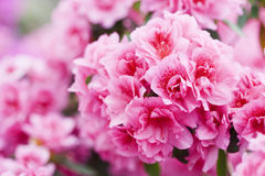 Spring blooming of Azalea Royalty Free Stock Images
