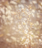 Spring blooming background Royalty Free Stock Photo