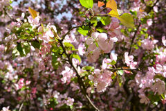 Spring blooming. Beautiful pink flowers of apple tree Stock Photography