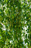 Spring blooming birch branches with green leaves and buds Stock Photo