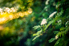 Spring blooming and bokeh. Sorbus or Mountain ash flower in bloom, sunny spring Royalty Free Stock Photos